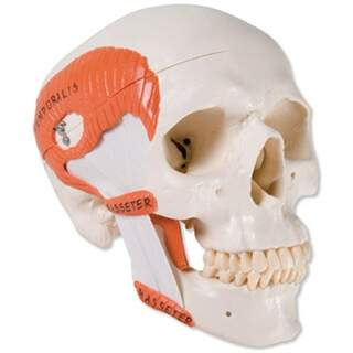 Kranium med tuggmuskler, två delar