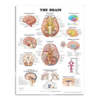 Hjärnan plansch affisch