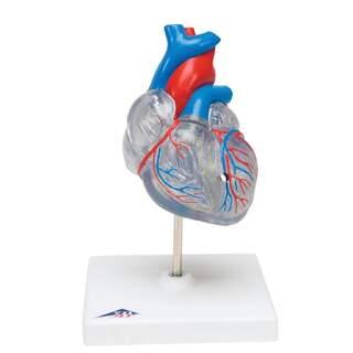 Förminskad och genomskinlig hjärtmodell med retledningssystemet