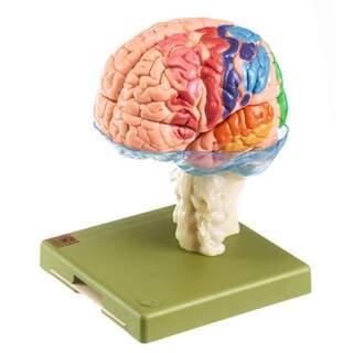 Hjärnmodell i 15 delar med cytoarkitektoriska områden