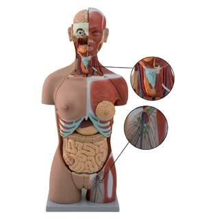 Komplett torso med 27 avtagbara delar (öppen rygg, muskler, foster, utbytbara könsorgan)