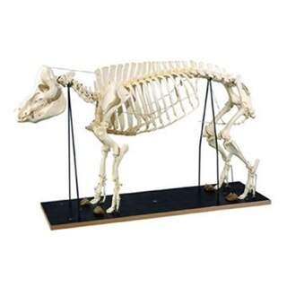 Skelett av gris (Sus scrofa)