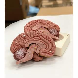 Hjärnmodell i åtta delar