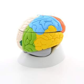 8-delad hjärnmodell