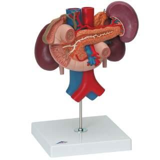 Njurar med bakre organ i övre bukregionen, i tre delar