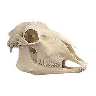 Fårkranium i plast (Ovis aries)