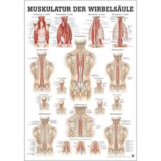 Ryggens muskulatur tysk/ren latin