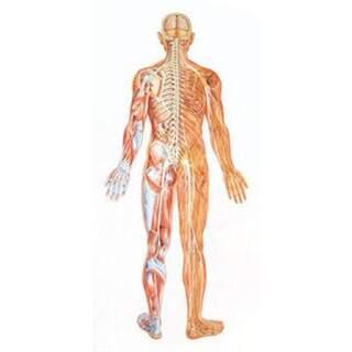 Stor nervsystem affisch bakifrån med trälister