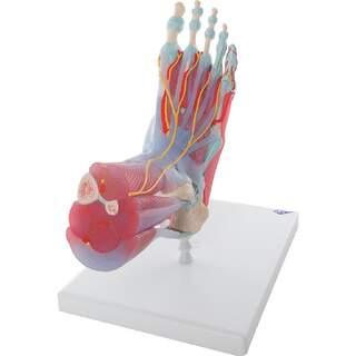 Fot med muskler, blodkärl, nerver, ligament i sex delar
