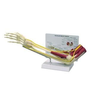 Armbåge och underarm skelett med muskler, nerver och ligament