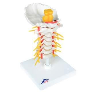 Modell av halskotorna