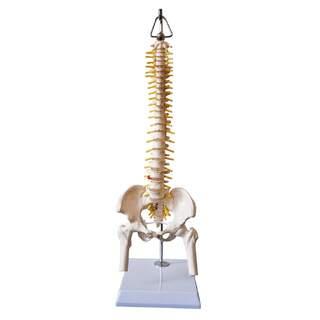 Miniryggradsmodell med bäcken, nerver och en del av lårbenen