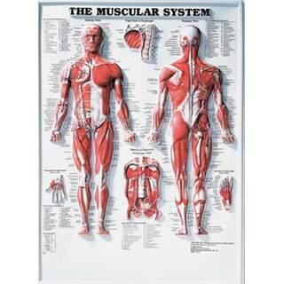 Muskelsystemet 3D - Anatomiplansch