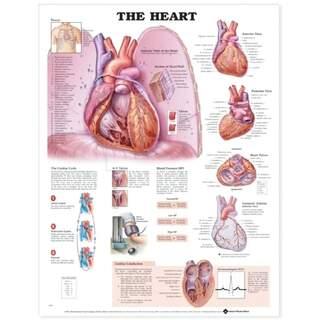 Hjärtat laminerad plansch engelska