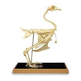 Kycklingskelett (Gallus gallus)