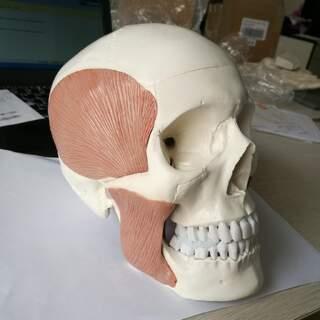 Vuxen kranie med tugg muskel totalt 10 delar