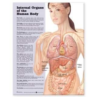 Inre organ laminerad plansch engelska