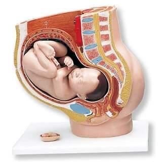 Graviditetsbäcken i tre delar