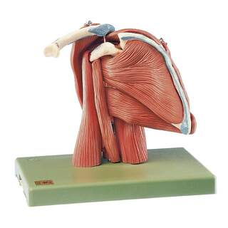SOMSO Axelmodell - 10-delad axelmodell med muskler