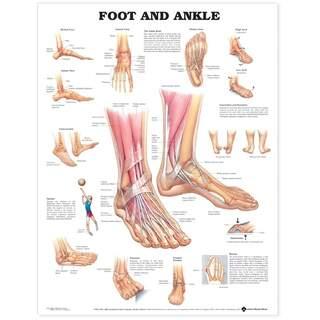 Anatomiplansch - Fot/ankel
