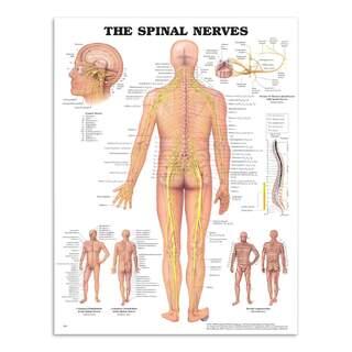 Anatomiplansch - Spinalnerver