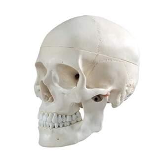 Kranium modell