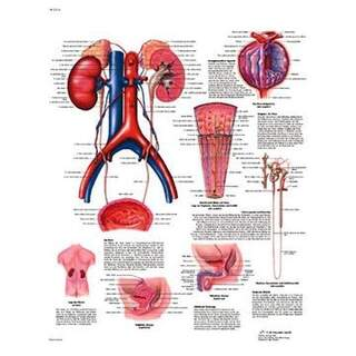 Urinvägarna anatomi och patologi 50x67 cm laminerad