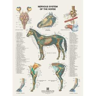 Hästens nervsystem plansch 60x80 cm