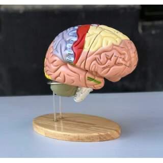 Stor pedagogisk hjärnmodell med färger, namn och i 5 delar på stativet