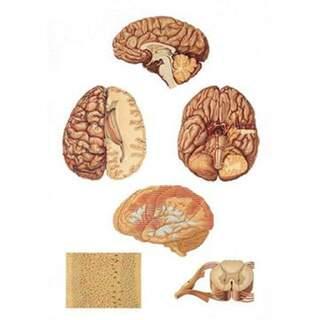 Centrala nervsystemet 84x200 cm - Affisch