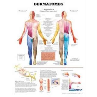 Poster av dermatomer på engelska