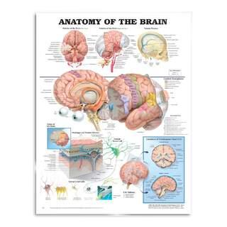 Hjärnans Anatomi - affisch