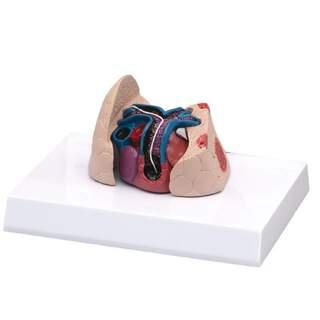 Katthjärta och lungmodell med hjärtmask