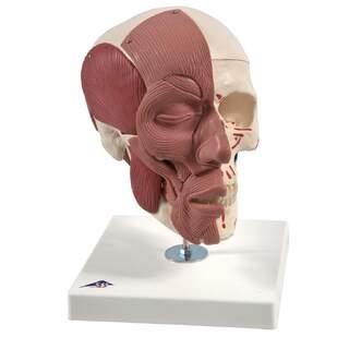 Kranium med muskler, muskelursprung och -fästen