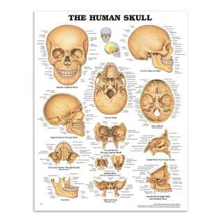 Kraniet laminerad affisch (The Human Skull)