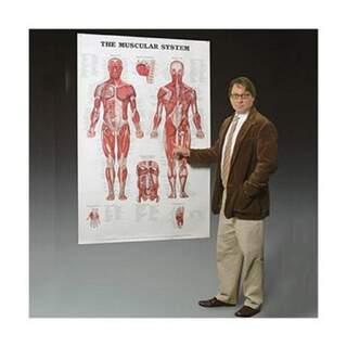 Muskelsystemet laminerad affisch