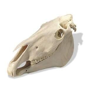 Hästkranium (Equus caballus)