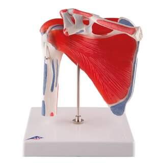 Rörlig modell av axel med muskler, i fem delar