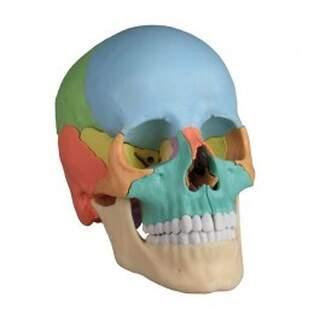 Osteopatisk Kranium modell, 22 DEL, DIDAKTISK VERSION