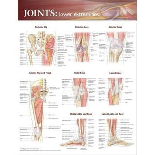 Leden i underextremiteten poster affisch engelsk (Joints of lower extremities)