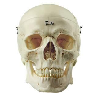 Mycket verklighetstrogen kraniemodell i vuxen storlek. Kan delas i 9 delar