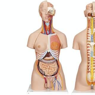 Detaljerad torso modell med 27 avtagbara delar (ljusthyad och utbytbara könsorgan)