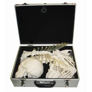 Skelett bensamling