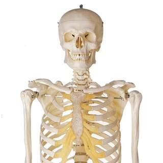 Manlig skelettmodell - SOMSO Modell