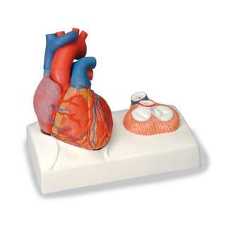 Hjärtmodell med fokus på klaffarna og avgjutet efter ett äkta hjärta