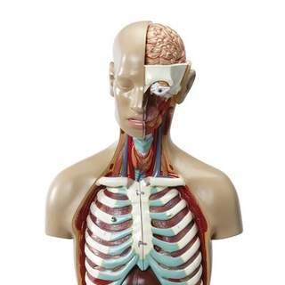 Torso modell 17 delar med öppen rygg, vuxenstorlek