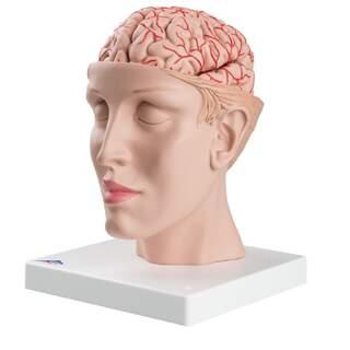 8-delad hjärna med artärer i delat huvud