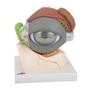 Anatomisk modell av öga i 5x naturlig storlek i åtta delar