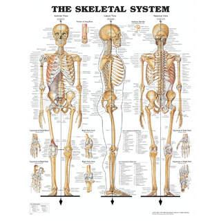 Anatomiplansch - Skelett med ringhål