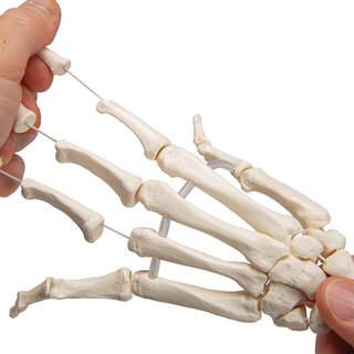 Modell av handens skelett samlad på elastik samt båda underarmsbenen